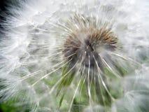 Пушистый одуванчик под солнечным светом против фона зеленой травы стоковые фотографии rf