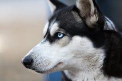 Пушистый осиплый портрет собаки Портрет собаки Syberian осиплый Стоковое Изображение