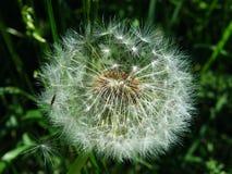 Пушистый одуванчик в зеленой траве Стоковая Фотография RF