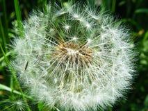 Пушистый одуванчик в зеленой траве Стоковое Изображение
