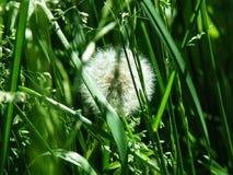 Пушистый одуванчик в зеленой траве Стоковое Изображение RF