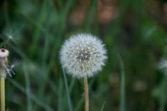 Пушистый одуванчик на предпосылке зеленой травы Стоковые Фото