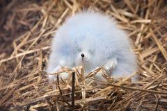 Пушистый свет - голубой еж лежа на сене Стоковая Фотография