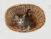 Пушистый серый и белый котенок стоя в корзине стоковое фото