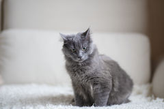 Пушистый серый кот сидя на кресле Стоковое Изображение