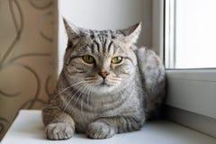 Пушистый серый кот tabby с зелеными глазами сидит близко к окну Стоковая Фотография