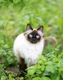 Пушистый сиамский кот Стоковое Фото