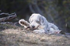 Пушистый укус собаки деревянная ручка Стоковое Изображение RF