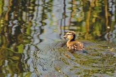 Пушистый утенок на воде Стоковое Фото