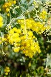 Пушистый душистый желтый цвет Стоковые Фотографии RF