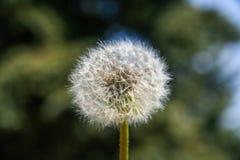 Пушистый цветок одуванчика стоковые фотографии rf