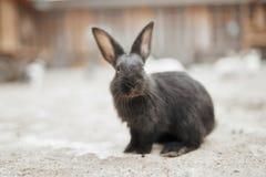 Пушистый черный кролик Стоковое Изображение RF