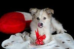 Пушистый щенок лежит на салфетке рядом с подушкой в форме сердца Держит лапки и ест обслуживания для собак, обруча подарка Стоковые Изображения