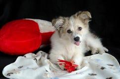 Пушистый щенок лежит на салфетке рядом с подушкой в форме сердца Держит лапки и ест обслуживания для собак, обруча подарка Стоковая Фотография RF