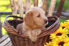 Пушистый щенок смешивания пуделя сидит в корзине с солнцецветом Стоковые Фотографии RF
