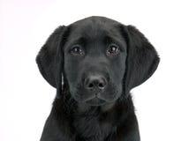 пушистый щенок Стоковая Фотография RF