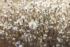 Пушистый thistle хавроньи, thistle зайцев, seedheads, естественная предпосылка стоковое фото rf