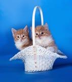 2 пушистых красных и белых котенка сидя в корзине на сини Стоковая Фотография