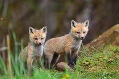 2 пушистых набора красных лисы Стоковые Фото