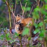 2 пушистых набора красных лисы Стоковое Фото