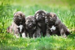 4 пушистых серых щенят outdoors Стоковая Фотография RF