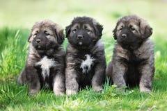 3 пушистых серых щенят outdoors Стоковая Фотография