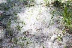 Пушок белого тополя лежит на лесе на том основании, конец-вверх стоковые изображения