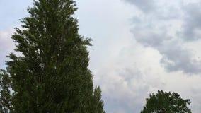 Пушок тополя в движении видеоматериал