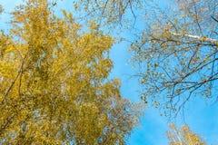 Пуща березы в осени Стоковые Изображения