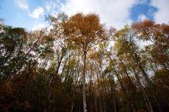 Пуща березы в осени Стоковые Фотографии RF