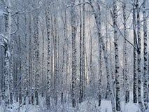 Пуща березы зимы Стоковые Фото