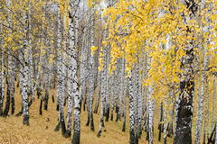 пуща березы осени Стоковые Изображения RF