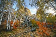 Пуща вала березы осени Стоковое Изображение RF