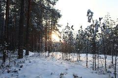 Пуща в зиме Стоковое Изображение