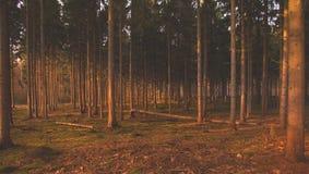Пуща в осени Солнце через древесины стоковое изображение rf