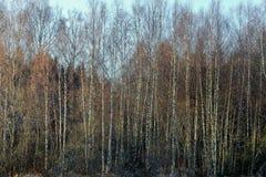 Пуща дерева березы в зиме Стоковые Фото