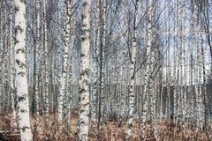 Пуща дерева березы в зиме Стоковая Фотография