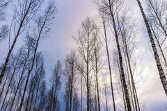 Пуща дерева березы в зиме Стоковые Изображения