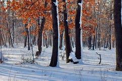 Пуща дуба в зиме Стоковые Изображения