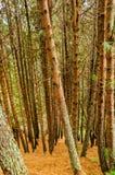 Пуща дерева сосенки Стоковое Изображение