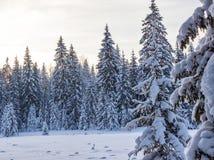 Пуща зимы в солнечном дне Стоковое Фото