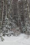 Пуща зимы после снежности стоковые фотографии rf