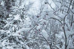 Пуща зимы снежная Стоковое фото RF