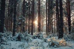 Пуща зимы снежная Стоковое Изображение RF