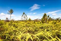 Пуща и папоротники дерева сосенки Стоковое Фото