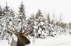 пуща лося дня вне снежная Стоковые Фото