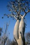 пуща Мадагаскар spiny стоковые изображения