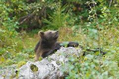 пуща медведя коричневая Стоковое Фото