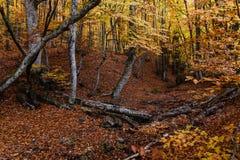 пуща осени золотистая Стоковая Фотография RF