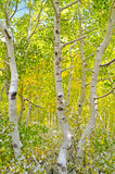 пуща осины Стоковое Изображение RF